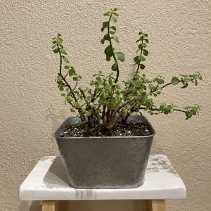 Elephant Bush Succulent Plant for Sale in Spring, TX
