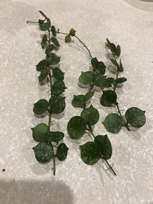 Hoya curtisii cuttings for Sale in Aurora, IL