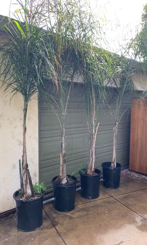 Queen Palm Trees for Sale in Irwindale, CA