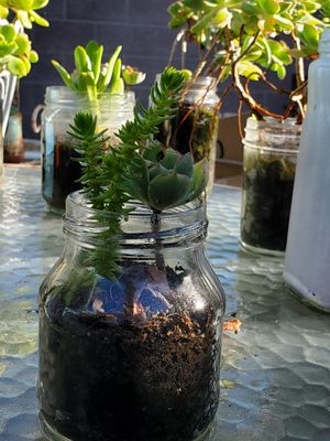 Live Succulents growing and small glass container for Sale in Gardena, CA