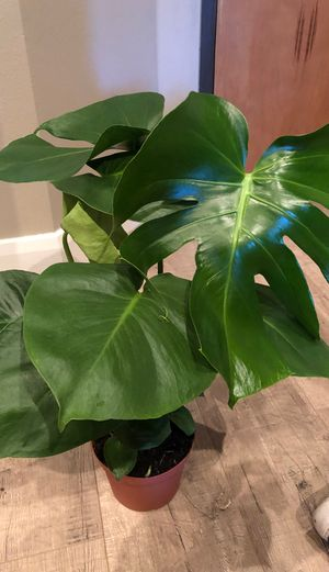 Monstera delisciosa plant indoor for Sale in Los Angeles, CA