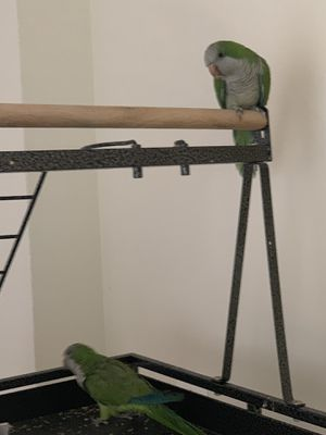 Quaker pair and cage for Sale in Ashburn, VA
