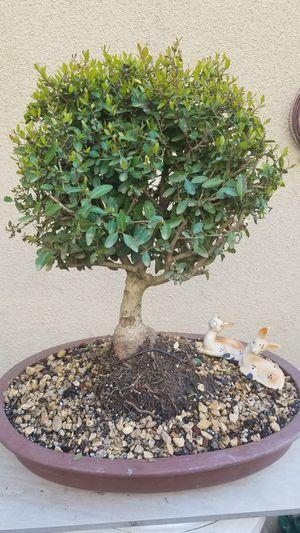 Boxwood bonsai for Sale in Fresno, CA