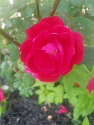 Red knockout rose plant for Sale in Alpharetta, GA