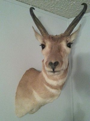 Beautiful antelope. for Sale in Show Low, AZ