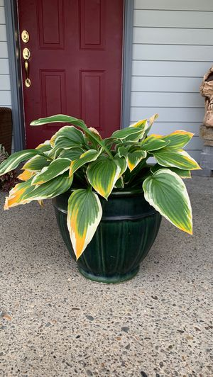Plant + pot for Sale in Vancouver, WA