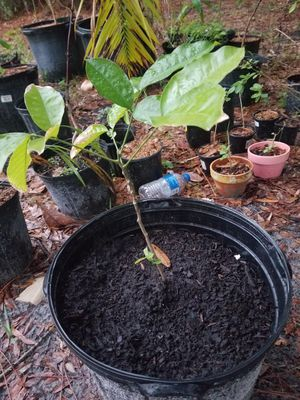 Ackee tree national fruit tree of Jamaica for Sale in Lehigh Acres, FL
