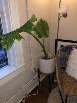 Small elephant ear plant for Sale in Los Angeles, CA