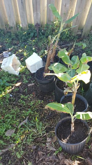 Lady finger banana trees for Sale in NEW PRT RCHY, FL