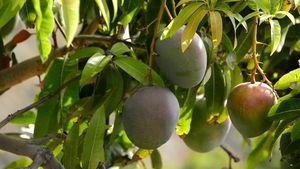 Mango Glenn 🥭/ mango plant... $10 each tree for Sale in Tampa, FL