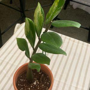 Zamioculcas Zamifolia Variegated for Sale in Nuevo, CA