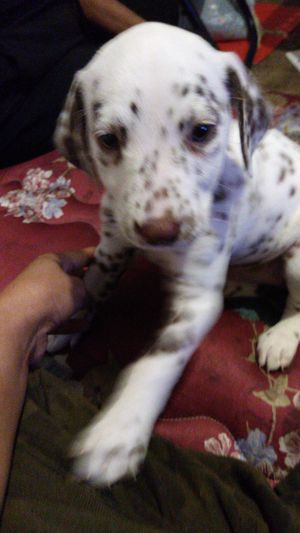 Dalmatian girl 7 weeks old. for Sale in Haverhill, MA