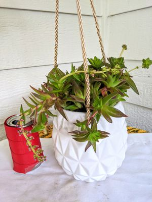 Red Pagoda Succulent Plants in White Hanging Ceramic Planter Pot-Real Indoor House Plant for Sale in Auburn, WA