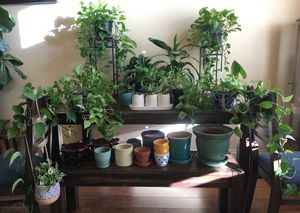 Live Plants with Ceramic Planters Rae Dunn for Sale in Hesperia, CA