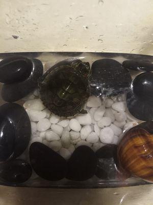 Turtle for Sale in Baldwin Park, CA