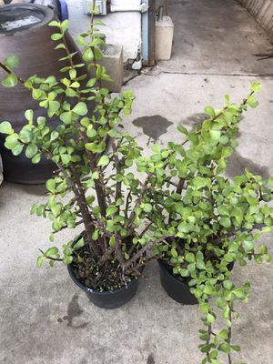 Plants (2gallons pot Jade Succulents $15 for both) for Sale in Chula Vista, CA