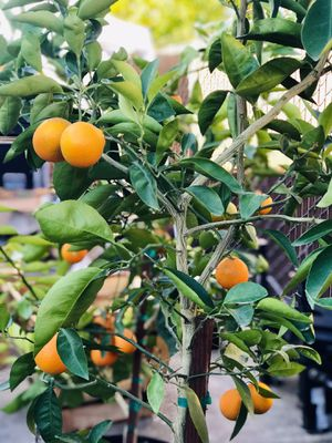 Mandarin Tree with multi fruits 7ft tall in 15 gallon pot for Sale in Rancho Cordova, CA