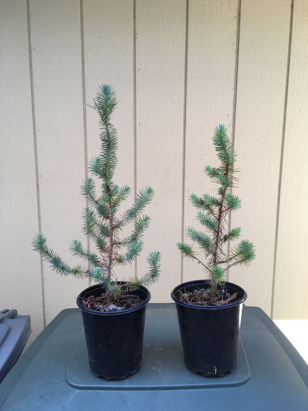 Pair of Italian Stone Pine Seedlings - Pinus pinea