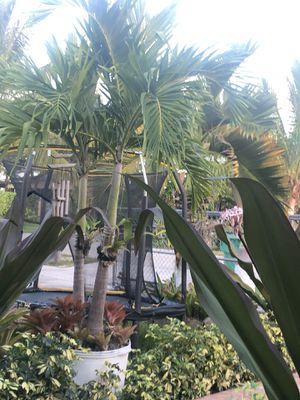 4 Tree Palms for Sale in Flamingo, FL