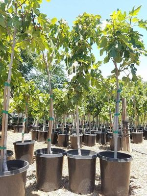 $40 ARBOL DE HIGO/ FIG TREES CLASS (BLACK MISSION AND PANACHE) for Sale in Rancho Cucamonga, CA