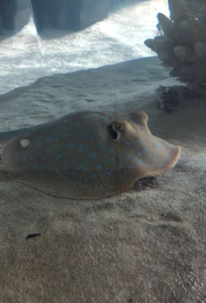 """Indonesian blue spotted sting ray up for adoption (fee) """"to big for tank """" for Sale in Miami, FL"""