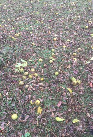 Free walnuts for Sale in Harrison, TN