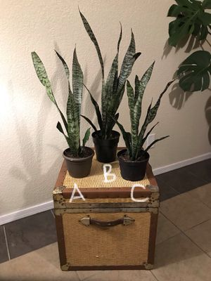 Snake plant house plant $10 each for Sale in Tempe, AZ