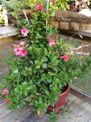 House plant for Sale in Greenville, SC