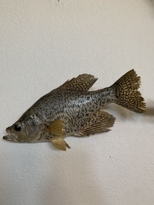 2lb Black Crappie Taxidermy for Sale in Westminster, CO