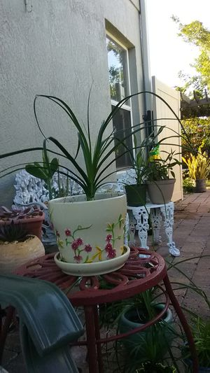 Ponytail palm for Sale in Kissimmee, FL