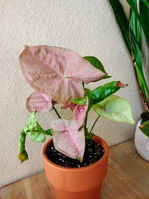 Pink syngonium for Sale in Las Vegas, NV