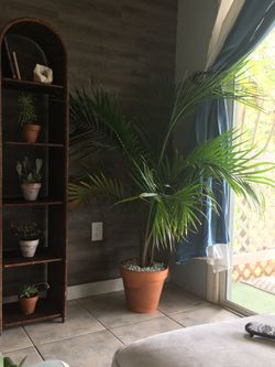 Real palm tree in teracota pot for Sale in Poinciana,  FL