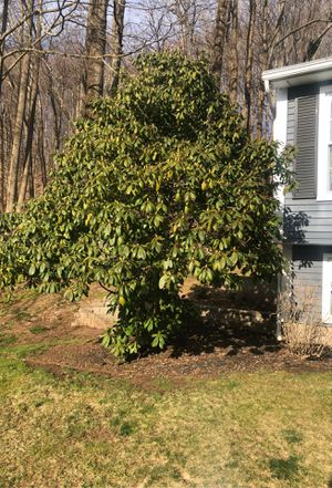 Flowering shrub for Sale in Wallingford, CT