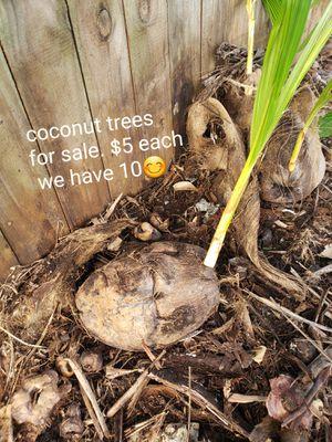 Coconut trees for Sale in Miramar, FL