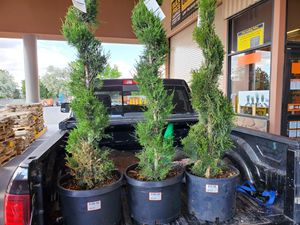 Thuja o Emerald green, Japanese maple, juniper maple for Sale in Murray, UT