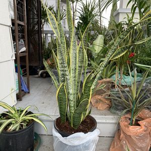 Snake Plant for Sale in Oakland, CA