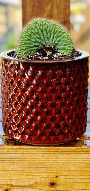 Live indoor Trichocereus Thelegonu Cristata cactus 🌵 house plant in a textured ceramic planter flower pot—firm price for Sale in Seattle, WA