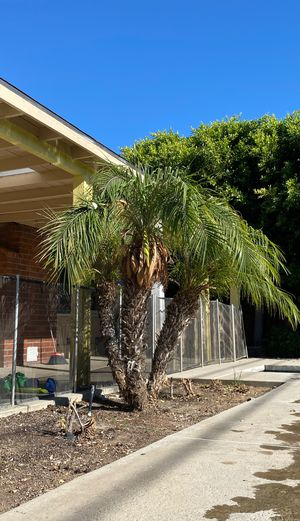 Palm tree for Sale in La Habra Heights, CA