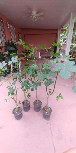 Bonitas plantas de chaya for Sale in Anaheim, CA