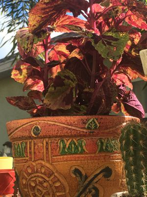 Marble Bicolor Coleus In Aztec Style Pot for Sale in Kissimmee, FL