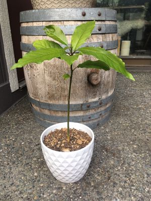 Avocado Tree in pot for Sale in Kirkland, WA