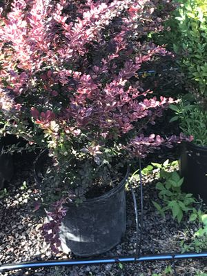 Deer resistant barberry shrubs and other trees and shrubs for Sale in Doylestown, PA