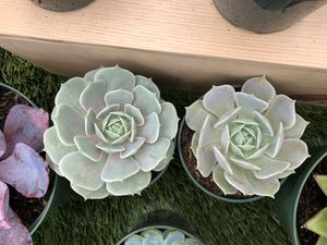 Beautiful Succulents 4-inch for Sale in Palo Alto, CA