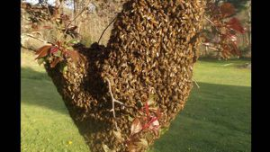 Free bee swarm removal for Sale in Sanger, CA