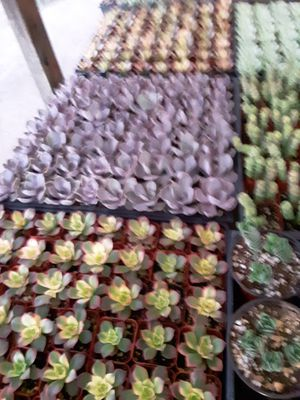 "2"" pots with succulent plants $1 each and $55 for tray of 64 plants for Sale in Whittier, CA"
