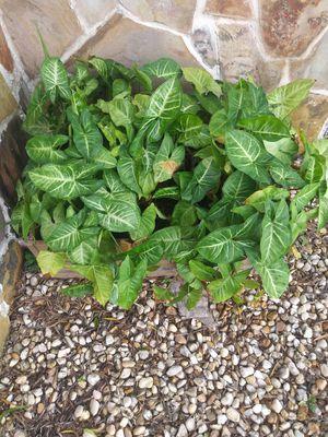 3 plantas por $12 for Sale in Frostproof, FL