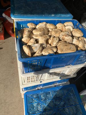 Matsutake/pine mushrooms for Sale in Lacey, WA