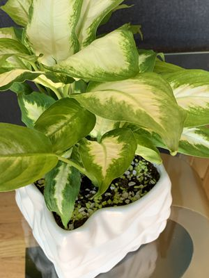 "Beautiful and elegant dieffebachia "" camila plant"" for Sale in Lakewood, CO"