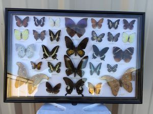 Rare Butterfly Collection for Sale in Phoenix, AZ