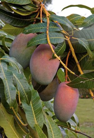 Plant mango from Indonesian for Sale in Riverview, FL